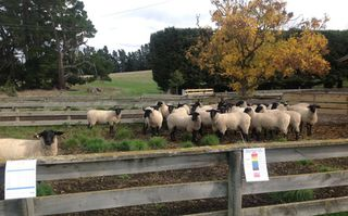 Ewe Hoggets May Field day 2013