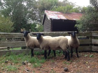 Tawhai ewe hoggets top three at suffolk feature show 2014