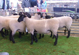 36/12 2nd in the ewe hogget class at Chch A&P Show