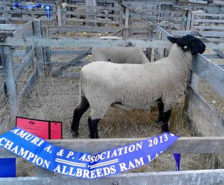 67/12 All breeds ram lamb at Amuri Show 2013